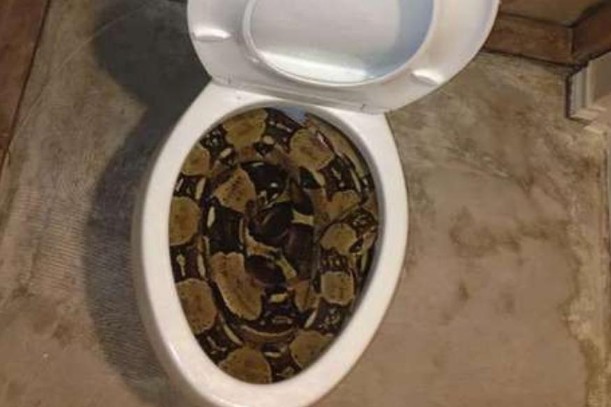 थायलंडची राजधानी बँकॉकमध्ये एका धक्कादायक प्रकार घडला आहे. घराच्या शौचालयात एक भला मोठा अजगर अचानक आला आणि त्याने एका व्यक्तीच्या प्रायव्हेट पार्टचा चावा घेतला आहे.