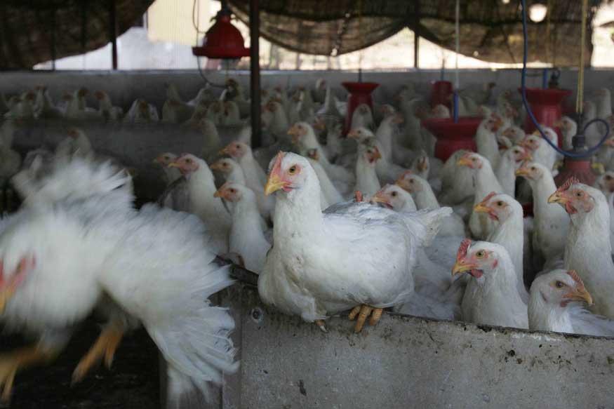 एक लेअर पॅरेंट बर्थची किंमत जवळपास 30 ते 35 हजार रुपये असते. या हिशोबानुसार कोंबड्या खरेदी करण्यासाठी 50 हजार रुपयांची तरतूद करावी लागते. विकत घेतलेल्या कोंबड्य़ा पाळण्यासाठी वेगवेगळ्या प्रकारचं खाद्य आणि औषधं यावर खर्च करावा लागतो.
