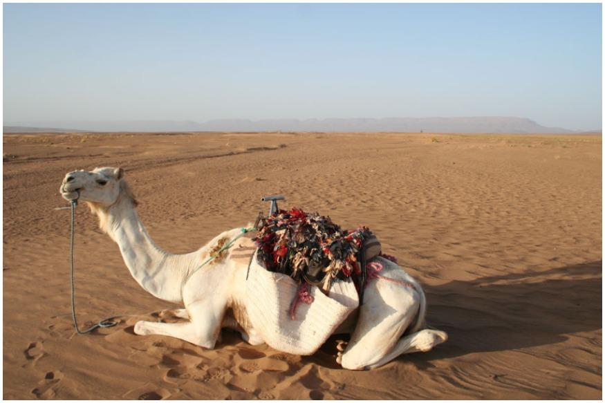 डायबेटिससाठी उपयोगी आहे Camel Milk, जाणून घ्या याचे फायदे