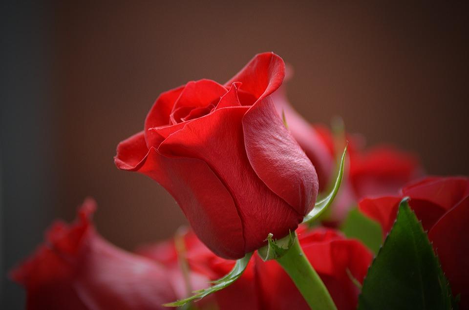 तुमचे कुणी स्नेही, मित्र संकटात असतील तर तुम्ही 8 गुलाबांची भेट देता येईल.