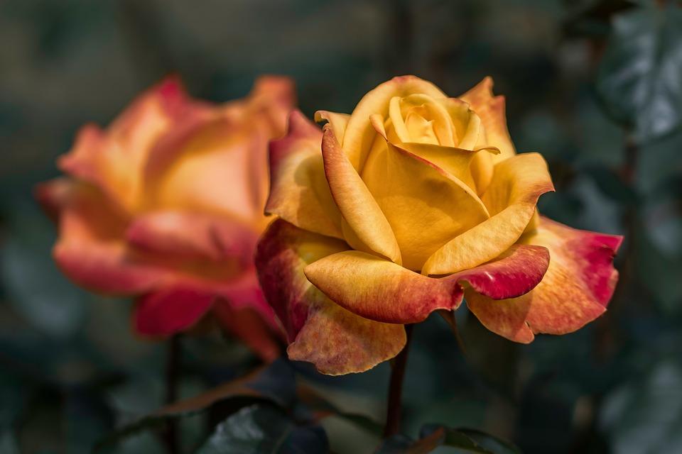 9 गुलाब हे शाश्वत प्रेमाचं प्रतिक आहे.