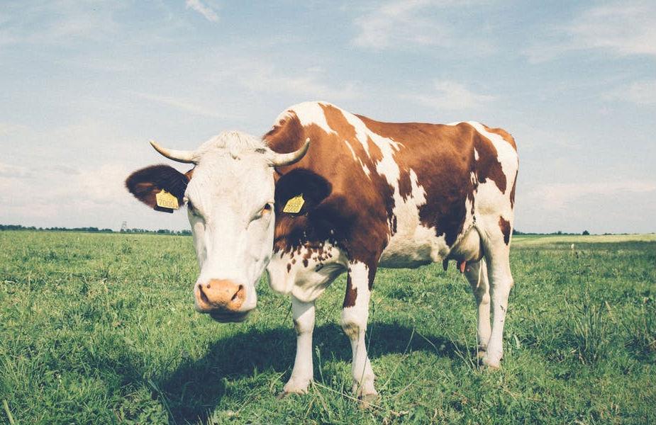 गायीच्या दुधापेक्षा उंटिणीचं दूध जास्त पोषक असतं. त्यात आयर्न, प्रोटिन, व्हिटॅमिन सी जास्त असतात. दुधात फॅटही कमी असते.