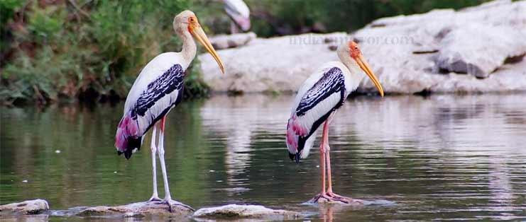 नाशिक- निफाडमधील नांदुर मध्यमेश्वर अभयारण्य हे वेगवेगळ्या पक्षांच्या प्रजातींसाठी प्रसिद्ध आहे. गोदावरी-कादवा नदीच्या संगमाच्या प्रवाहावर नांदुर मध्यमेश्वर हे धरण बांधण्यात आलं आहे. इथे नर्तक, धनेश, करकोचे, बगळा असे वेगवेगळ्या प्रकारचे पक्षी इथे पहायला मिळतात. पक्षाची शाळा असं मध्यमेश्वर पक्षी अभयारण्याला एकदा भेट द्यायलाच हवी.