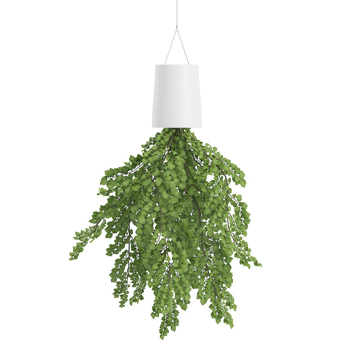 गिलोय/आइवी वनस्पती लावताच काही तासातच घरातील हवा शुद्ध होते.  हवेतील जंतूही नष्ट होतात.
