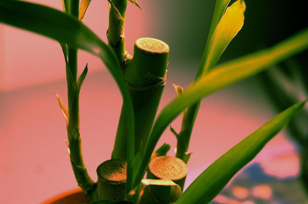 बांबूचं रोप - घरातील हवा शुद्ध ठेवण्यासाठी बांबूचं रोपसुद्धा उत्तम आहे. यामुळे अनेक रोगांचे जंतू घरात शिरकाव करत नाहीत.