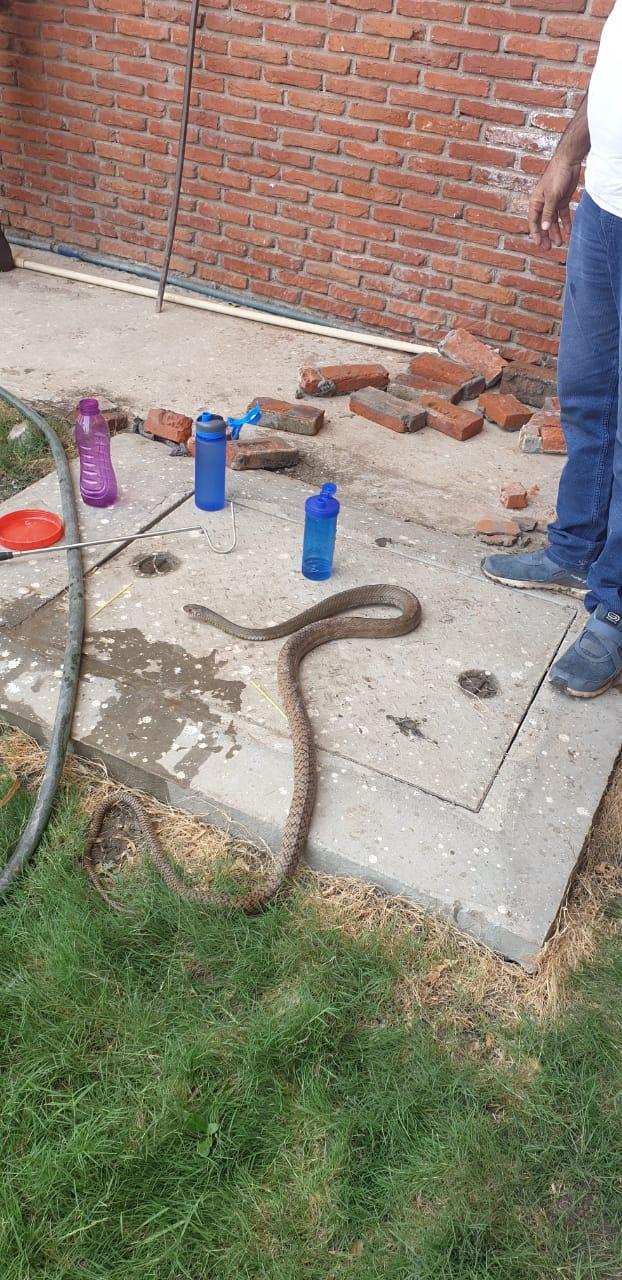 इंदौरमध्ये एका शाळेच्या परिसरात लोकांनी सापाला घाबरून त्याच्यावर कीटकनाशक टाकलं.