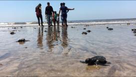 मुंबईच्या समुद्रकिनाऱ्यावर 'कासव जन्मोत्सव' !