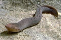 eel fesh 2