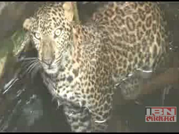 leopard in chandrapur