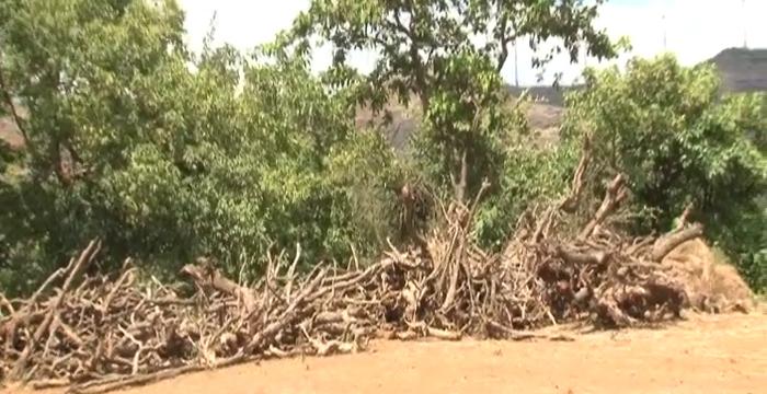 Junner tree cuting