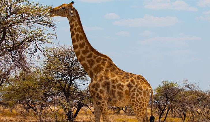 giraffe new