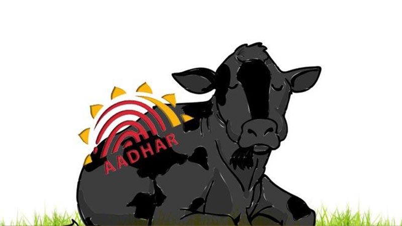 मोदी सरकार देणार गायींना आधार कार्ड!