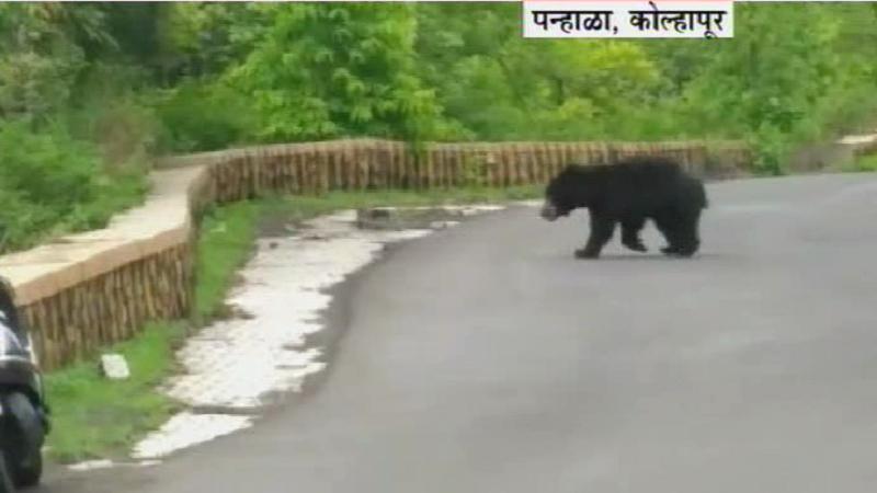 ...आणि अस्वलानं रस्ता पार केला