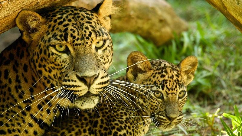 संजय गांधी राष्ट्रीय उद्यानाच्या अहवालानुसार बिबट्यांच्या संख्येत वाढ!