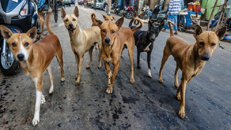 पुण्यात भटक्या कुत्र्यांची संख्या 50 हजारांवर, कुत्र्यांच्या हल्ल्यात अनेकांचा बळी
