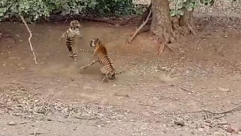 VIDEO रणथंभौरच्या जंगलात एकमेकांशी भिडले दोन वाघ !