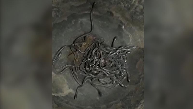VIDEO : बापरे!, एकाच घरात सापडली 100 कोब्राची पिल्लं !