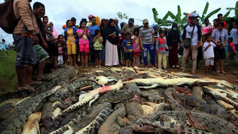 VIDEO : बदलाच्या नादात संतप्त जमावाने घेतला 300 मगरींचा जीव