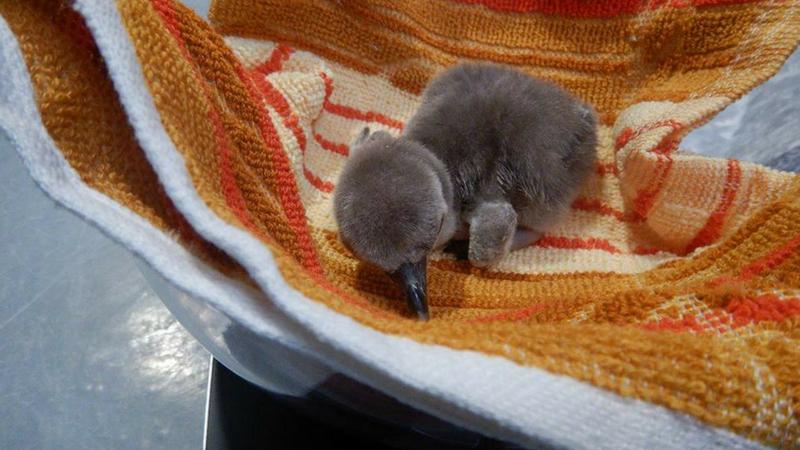 राणीच्या बागेत दीर्घकाळाच्या प्रतीक्षेनंतर पाळणा हलला आणि बेबी पेंग्विनचा जन्म झाला. आई प्लिपरने ४० दिवसांनंतर एका बेबी पेंग्विननला जन्म दिला. साधारणपणे पेंग्विंनचे अंडं फुटून त्यातून पिल्लू बाहेर येण्याचा कालावधी हा ४० ते ४५ दिवसांचा असतो. आज ४० दिवसांनीच अंड्यामधून पिल्लू बाहेर आल्याने राणी बागेत एक उत्साहाचे वातावरण आहे. दिवसांनी त्याची डीएनए चाचणी होईल त्यातूनच पिल्लू नर आहे की मादी हे कळून येईल.