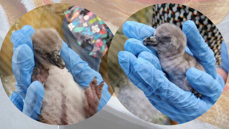 पिल्लू जर नर असेल तर त्याचे नाव अपॉलो, कुकी, वॉडलर आणि मादी असल्यास तिचे नाव वेलव्हेट, व्हॅनिला, आईस क्यूब यापैकी ठेवण्याचा आग्रह तिने धरला आहे. या हम्बोल्ट पेंग्विनची खास बात म्हणजे मिस्टर मोल्ड हा प्लिपरपेक्षा लहान असून राणीच्या बागेत असलेल्या पेंग्विनपैकी या जोडीला सर्वात पौढ जोडी मानली जाते.