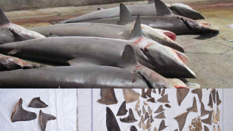 तब्बल 20 हजार शार्क माशांची शिकार करणारी टोळी जेरबंद