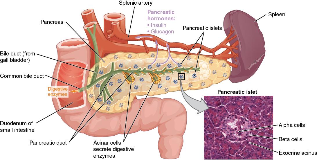 या तत्त्वांमुळे तुमच्या शरीरातील पँक्रियाजचे नुकसान होऊ शकते. यामुळे शरीरातील इन्सुलिनचं प्रमाण वाढतं. यामुळे मधुमेह होऊ शकतो.