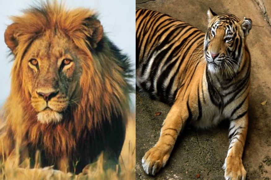 आता राणीच्या बागेतही वाघ आणि सिंहाची 'युती', कोण घेणार कोणाची काळजी?