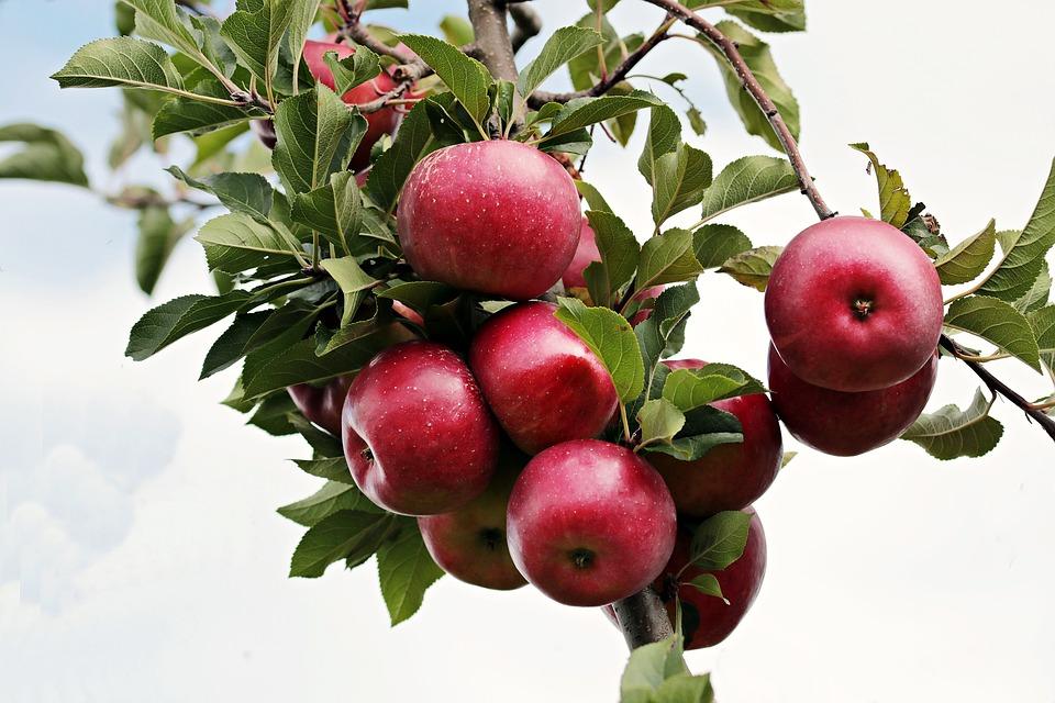 सफरचंदात आयर्नचं प्रमाण खूप जास्त असतं म्हणूनच कापून बराचवेळ ठेवल्यास ते काळं पडतं. ज्याच्या शरीरात रक्ताचं प्रमाण कमी असतं. त्यांनी रोज सफरचंदाचा ज्यूस प्यायल्यास जास्त फायदेशीर ठरतं.
