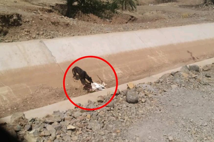 दुष्काळाचा फटका, भटक्या कुत्र्यांनी केली हरणाची शिकार