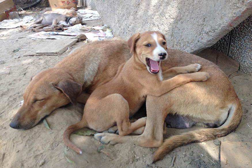 बंगळुरूतल्या VBHV अपार्टमेंटने तमिळनाडूतल्या एका एजन्सीला परिसरातले कुत्रे पकडण्याचं कंत्राट दिलं. त्यामुळे आता दावा करण्यात येतोय की हे कुत्रे कत्तलखाण्यात पाठवून तेच मांस विकण्यात येत असल्याचा आरोप होतोय.