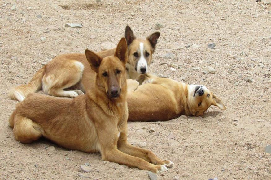 हॉटेल्समध्ये मटण म्हणून कुत्र्यांचं मांस दिल्याच्या आरोप अनेकदा होतो. पण कर्नाटकची राजधानी बंगळुरूमध्ये बड्या आणि नामांकित हॉटेल्सवर आता हा आरोप झालाय. कत्तलखाण्यांमध्ये कुत्र्यांचं मांस काढून ते मटण शॉप्स आणि हॉटेलमध्ये विकण्यात येतं असा आरोप करण्यात येतोय.