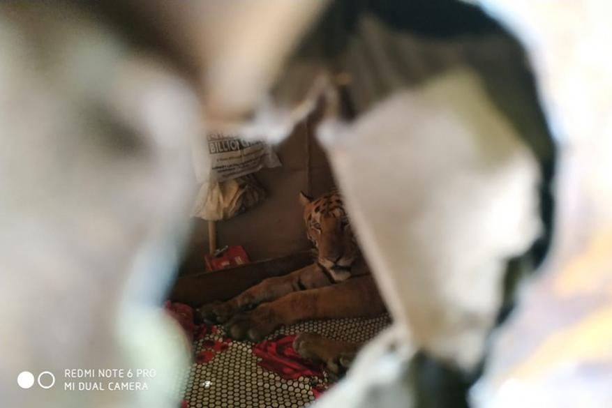 आसाममध्ये आलेल्या पुरामुळे काझीरंगा अभयारण्यातल्या प्राण्यांवर जलसंकट आलं आहे. या भीषण पुरातून वाचलेल्या एका थकल्याभागल्या वाघाने एका दुकानदाराच्या छोट्याशा घरात आसरा घेतला. तिथे टाकलेल्या एका उबदार अंथरुणात त्याने स्वत:ला झोकून दिलं.