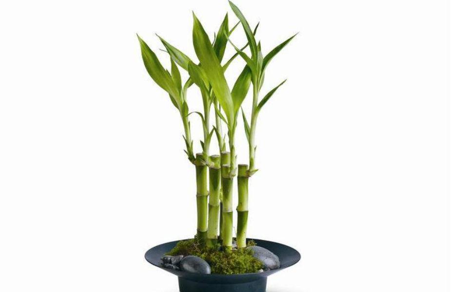 फेंगशुईमध्ये बांबूच्या रोपालाही महत्त्व आहे. हे रोप घरात ठेवल्याने घरात सुख- संपत्ती येते. तसेच लोकांचं आयुष्यमानही वाढतं. हे रोप घरात पूर्व दिशेला ठेवा.