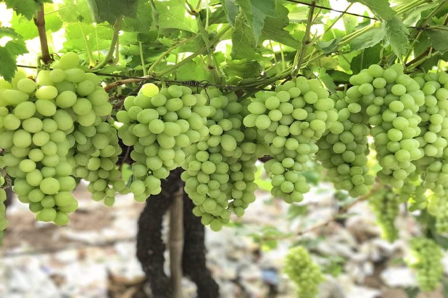 द्राक्ष- द्राक्षातही अशी काही पोषक तत्व असतात ज्यामुळे वजन वाढतं. त्यामुळे दररोज 20 ग्रॅम द्राक्ष तरी खा.