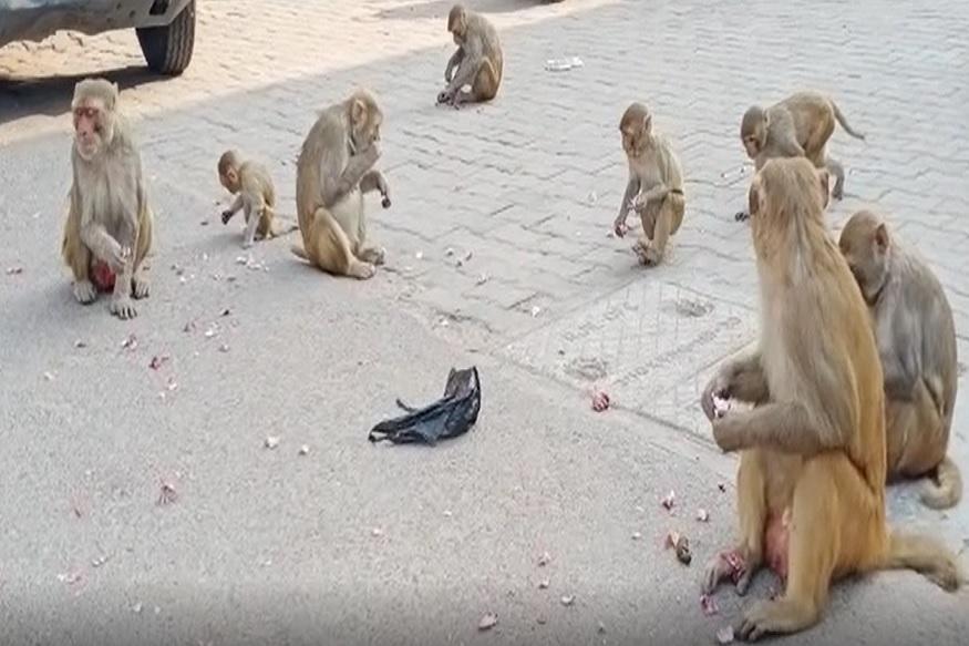 एक तरुण कांद्याची थैलीत घेऊन जात असताना माकडांच्या टोळीने हल्ला केला.