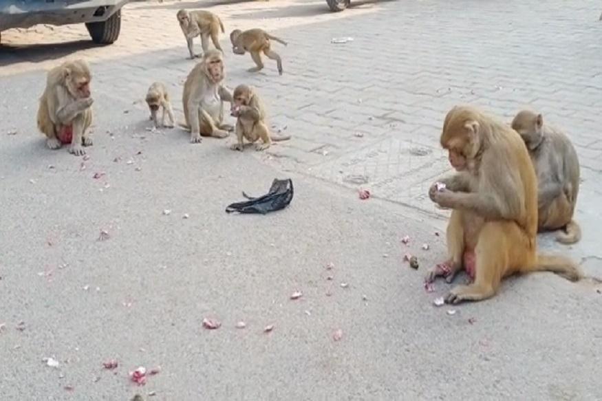 कांद्यांने शंभरी पार केल्याने सगळ्यांच्याच डोळ्यात पाणी आलंय. तर जेवणाच्या ताटातून कांदा बाहेर गेला. मात्र माकडांना या कांद्यांची चटक लागलीय.