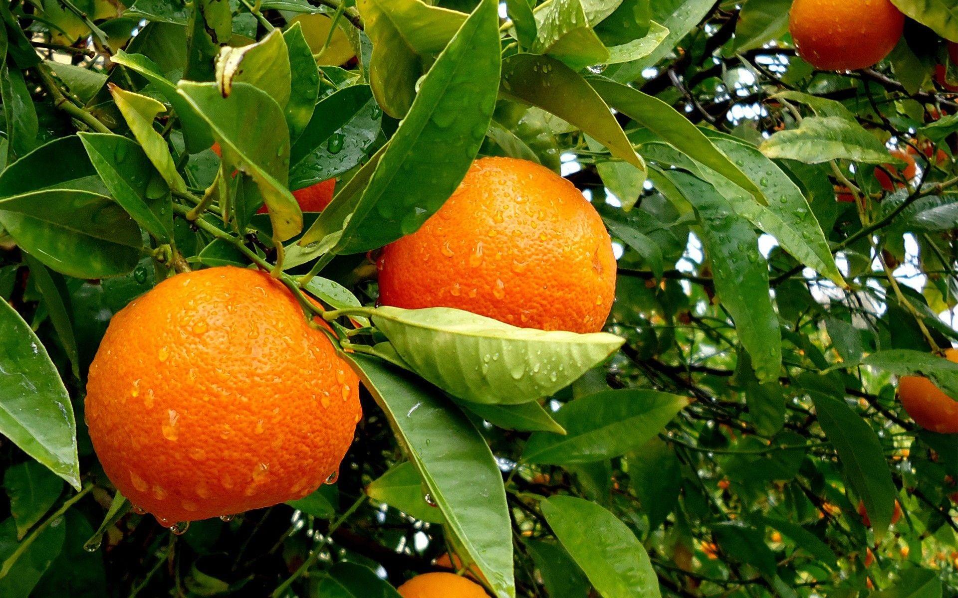 संत्र्याला स्वत:चा एक छान सुवास असतो,त्यामुळे अत्तरांमध्ये त्याचा समावेश केला जातो.