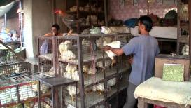 चिकन खाताय,सावधान!, कोंबड्यांना दिली जातात इंजेक्शन!