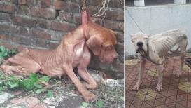 VIDEO : डॉक्टराची क्रूरता ; 9 परदेशी कुत्रे भुकेपोटी आपलीच खात होते विष्ठा !