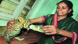 #Durgotsav2018 :  बिबट्याचा हल्ला परतवून त्याला जीवदान देणाऱ्या धाडसी डॉक्टरची थरारक कहाणी!