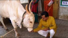SPECIAL REPORT : 'या' उमेदवाराचा अजेंडाच आहे गाय!