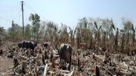 VIDEO: दुष्काळ आणि पिण्याविना केळीची बाग करपली, लाखोंचं नुकसान