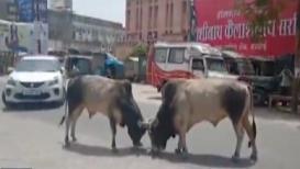 VIDEO: भररस्त्यात बैलांच्या झुंजीचा थरार; नागरिक हैराण