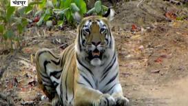 VIDEO : 'लारा'चा दरारा,  3 बछड्यांसह'लारा'चा दरारा,  3 बछड्यां अडवला अवघा रस्ता!
