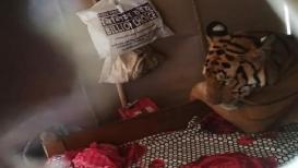 पाहा PHOTO : पुरामुळे थकल्याभागल्या वाघाने जवळच्या घरात घेतला आसरा