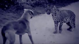 तेरी मेहरबानियां...'टायगर' नडला बिबट्याला, मालिकिनीचा वाचवला जीव
