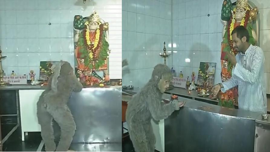'मंकी बात' या सिनेमाच्या प्रमोशनसाठी ठाण्यात हनुमानाच्या दर्शनासाठी अवतरले माकड!