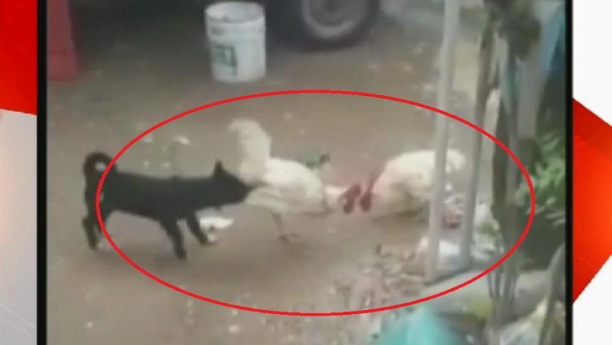 कोंबड्यांची झुंज कुत्र्याने सोडवली, देशभक्तीपर गाण्यावरील 'हा' VIDEO VIRAL